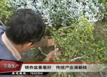 四,银杏树盆景种植银杏的播种育苗:做银杏盆景最重要的就.